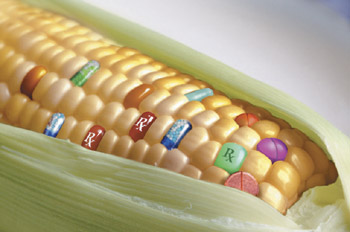Genetically modified foods (Yes it's in many foods we eat that's non-organic) Gmo-corn-kernels