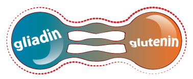 Gluten, a composite protein made of gliadin and glutenin.