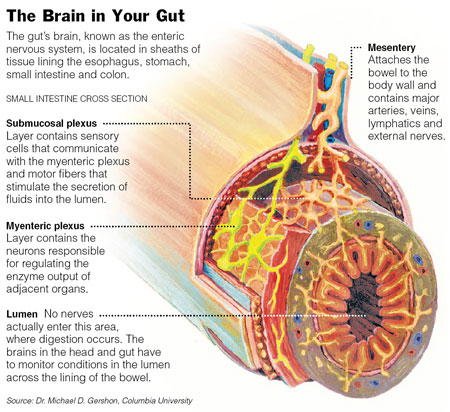 enteric nervous system cross section All About Appetite Regulation, Part 1