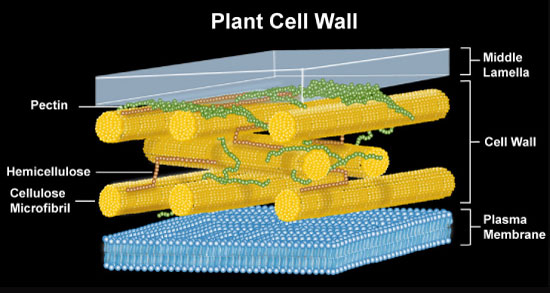 plant-cell-wall