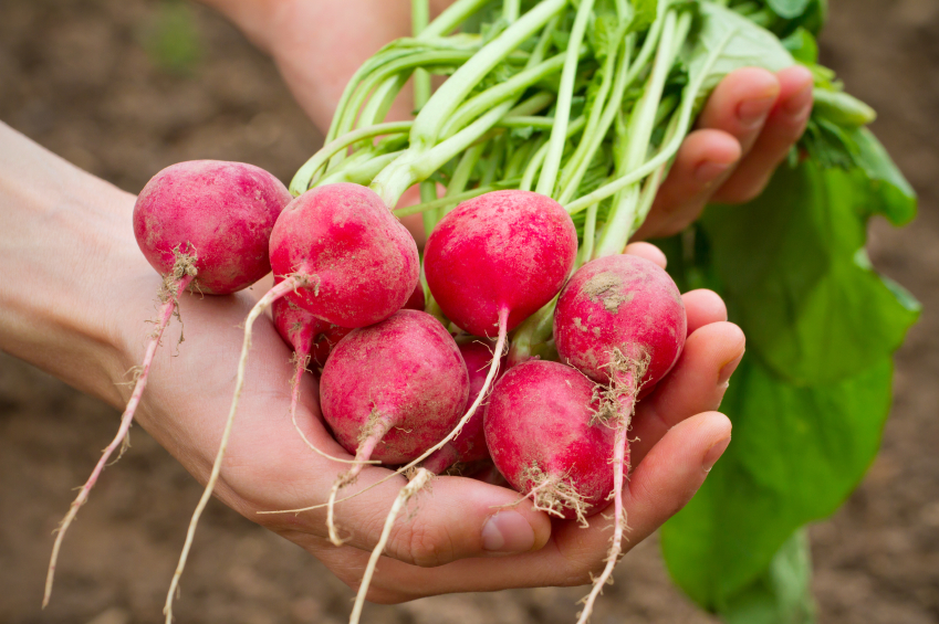 Fresh organic radish in woman's hand