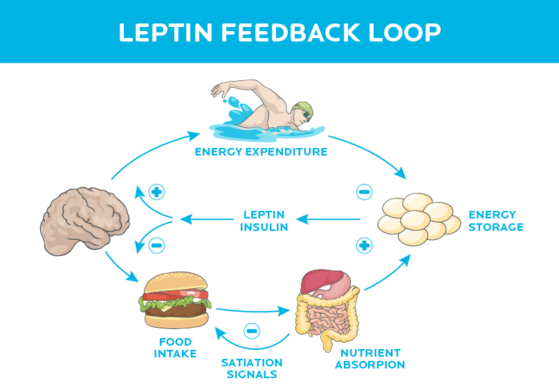 precision-nutrition-brain-tells-you-to-eat-leptin-1